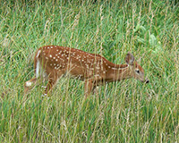 Deer in Fresh Grass