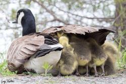 Mamma goose protecting her goslings