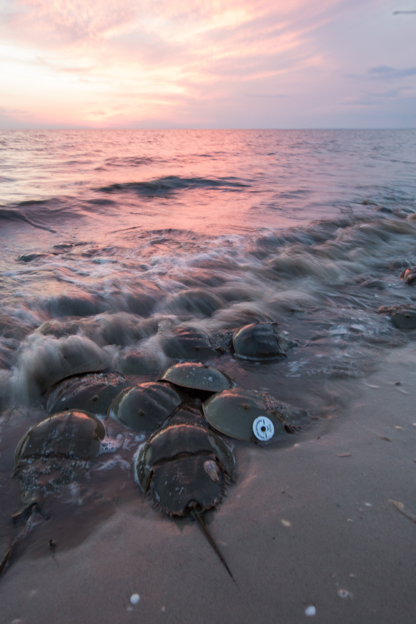 horseshoe crabs on delaware bay