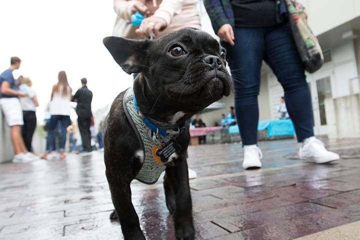 Bean, a French bulldog, visits Stockton with his mom, Juliana Vernacchio, during the University Weekend Street Fair.